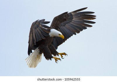 A bald eagle about to land