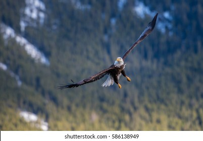 Bald eagle against the mountains in Jasper, Alberta.