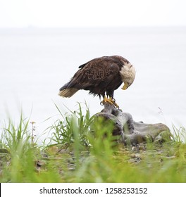 Bald Eagle in Alaska looks down at feet as if praying