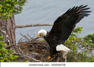 Bald Eagle Arriving at the nest, with open wings. British Columbia, Canada. Baby chick sleeping.