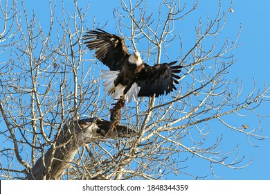 A Bald Eagle becomes airborne with a freshly caught rabbit in its talons, after a brief rest atop a tree.