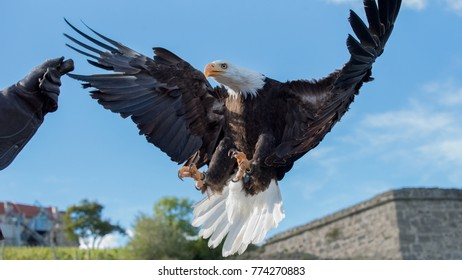 Bald eagle - Birds of prey demonstration at Riegersburg (Austria)