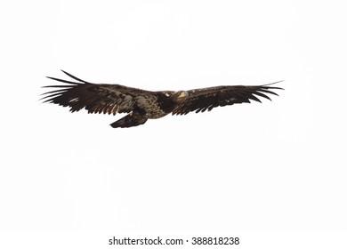 bald eagle in british columbia canada