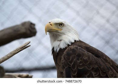 Bald Eagle in a cage stares at the world with a defiant look