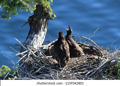 Bald Eagle chicks in a nest in a tree on the side of a cliff Vancouver Island
