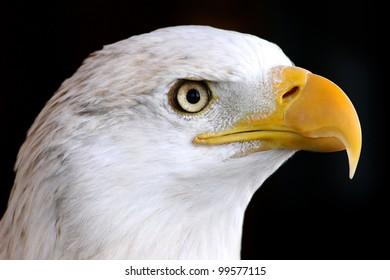 bald eagle, close up