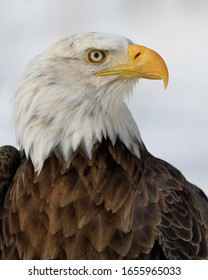 Bald eagle closeup portrait against snowy white background in winter