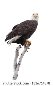 A bald eagle clutches to the top of a broken birch tree branch. Eyes wide open, the eagle stares straight head in the camera. White background