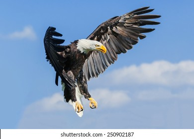 Bald eagle coming down. A majestic bald eagle prepares to land.