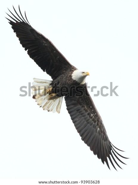 Bald eagle at Conowingo Dam, MD, USA.