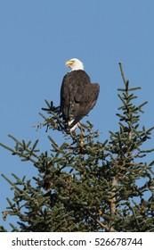 Bald eagle cooling off on top of a Sitka spruce in Kenai Fjords National Park, Alaska.
