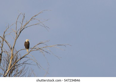 Bald eagle in a cottonwood tree at Rocky Mountain Arsenal National Wildlife Refuge in suburban Denver, Colorado, near Denver International Airport.