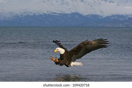 Bald Eagle descending on prey.