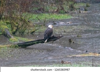 Bald Eagle During Salmon Run
