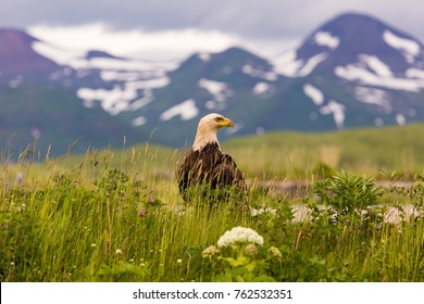 bald eagle dutch harbor