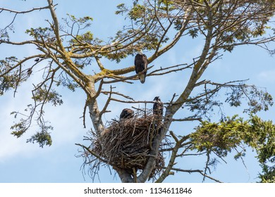 bald eagle and eaglet sit in their nest, Vancouver BC Canada