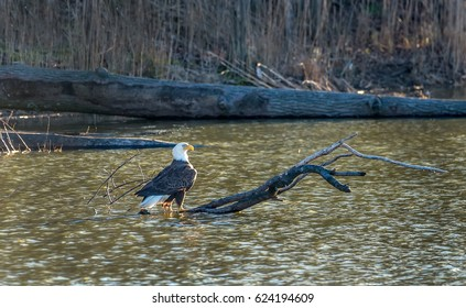 Bald Eagle enjoying the sunlight on a log in a pond near the Chesapeake bay in Maryland