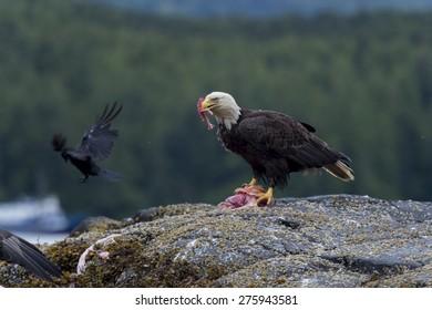 Bald Eagle feeding on prey, Skeena-Queen Charlotte Regional District, Haida Gwaii, Graham Island, British Columbia, Canada