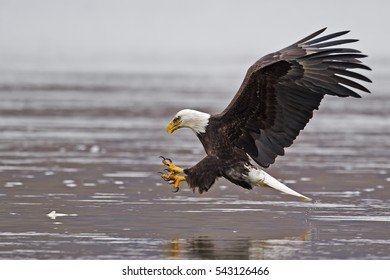 METAL REFRIGERATOR MAGNET Bald Eagle Flying Above Water With Fish In Talons Bird