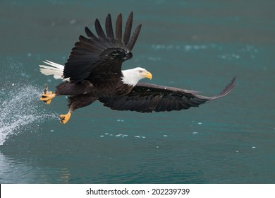 Bald Eagle fishing over green water, Homer Alaska