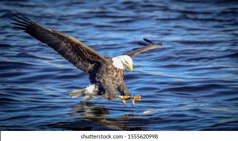 Bald Eagle Fishing Over the Waters