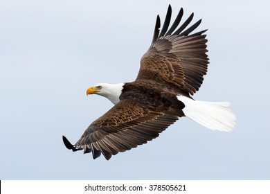 Royalty Free Bald Eagle Flying Stock Images Photos Vectors