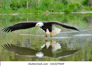 Bald eagle in flight across water  from a perch in Vittoria, Ontario, Canada at the Canadian raptor Conservancy