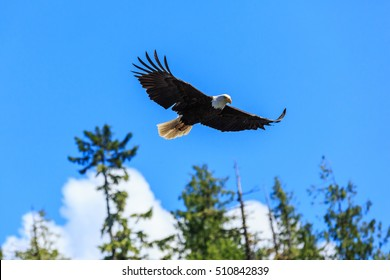 Bald eagle in flight, Alaska. United States of America.