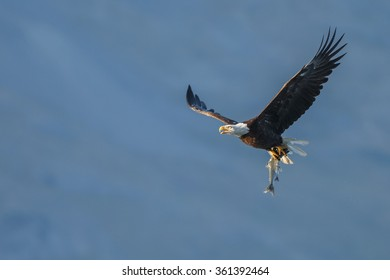 Bald eagle in flight with a catch