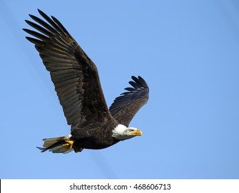 Bald Eagle in Flight with Fish