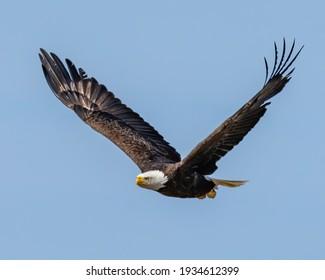 Bald Eagle in flight on a sky of blue