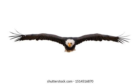 Bald eagle in flight on a white background.