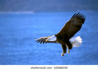Bald Eagle in flight over water.