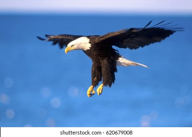 Bald Eagle in flight, soaring  over water
