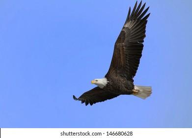 Bald Eagle In Flight/Soaring