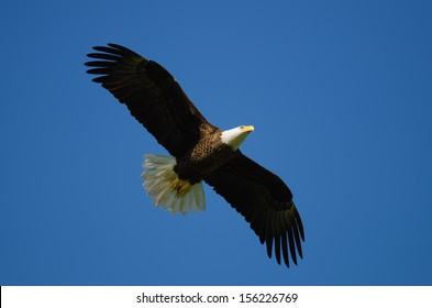 Bald eagle flying with blue sky background.