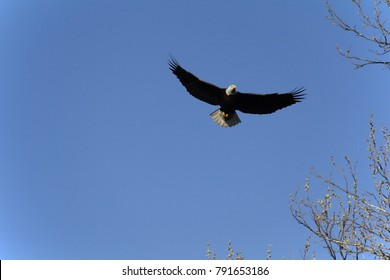 Bald Eagle flying in blue sky with wings spread