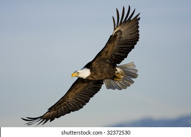 Bald Eagle flying by at Farmington Bay, UT