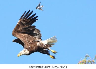 Bald eagle flying with eastern kingbird.