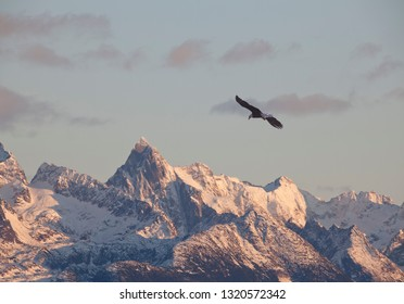 A bald eagle flying near snow covered mountains at sunset in Alaska.