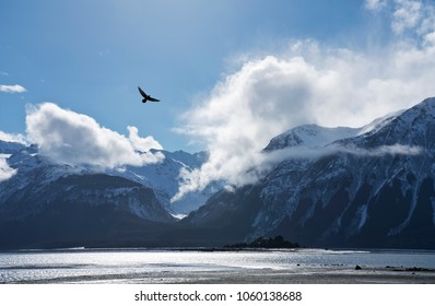 Bald eagle flying over a beach on the Chilkat Inlet on a sunny day in Southeast Alaska.