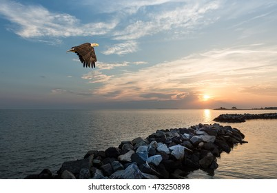 Bald Eagle flying over a jetty at sunset on the Chesapeake Bay in Maryland