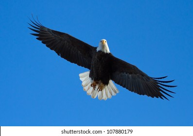 A Bald eagle is flying overhead with tail spread. Taken at the Klamath Basin Wildlife Refuges