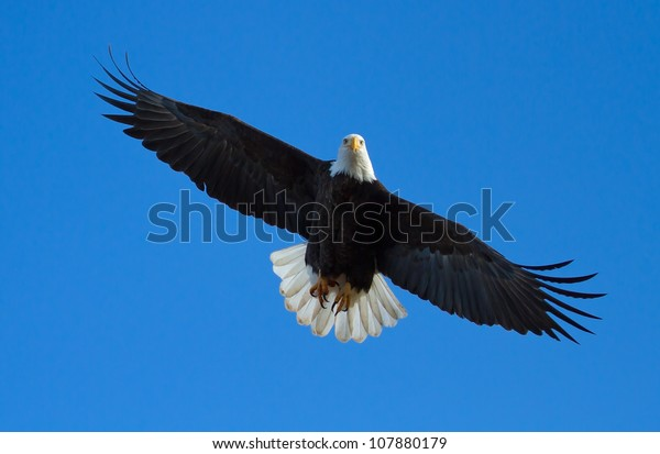 Bald Eagle Flying Overhead Tail Spread Stock Photo (Edit Now