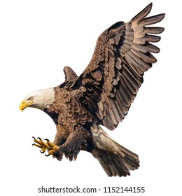 Bald eagle flying swoop attack hand draw and paint color on white background illustration.