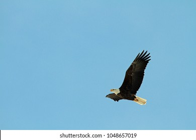 A bald eagle flying through the sky on a clear blue winter day