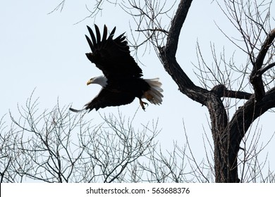 Bald eagle flying through the trees, California, Tulelake, Lower Klamath National Wildlife Refuge