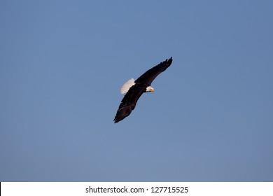 Bald eagle in free flight