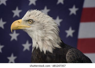 Bald Eagle in front of an American Flag