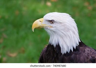 bald eagle or haliaeetus leucocephalus bird of prey profile isolated against backround